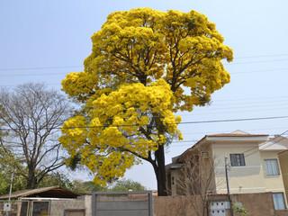 Ipê amarelo no bairro Rita Vieira. Além da beleza, árvores nativas ajudam a dar o titulo de cidade mais arborizada a Campo Grande. (Foto: Minamar Júnior)