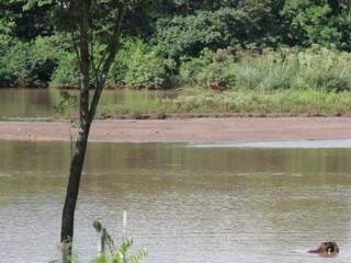 Capivaras se alimentam nas margens do Lago do Amor.  Bancos de areia invadem a água e revelam o avançado estado de assoreamento. (Foto: André Bittar)
