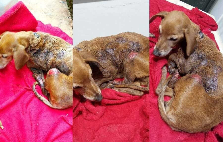 Bolinha precisou ser internada e passou por cirurgia (Foto: WhatsApp / Nova News)