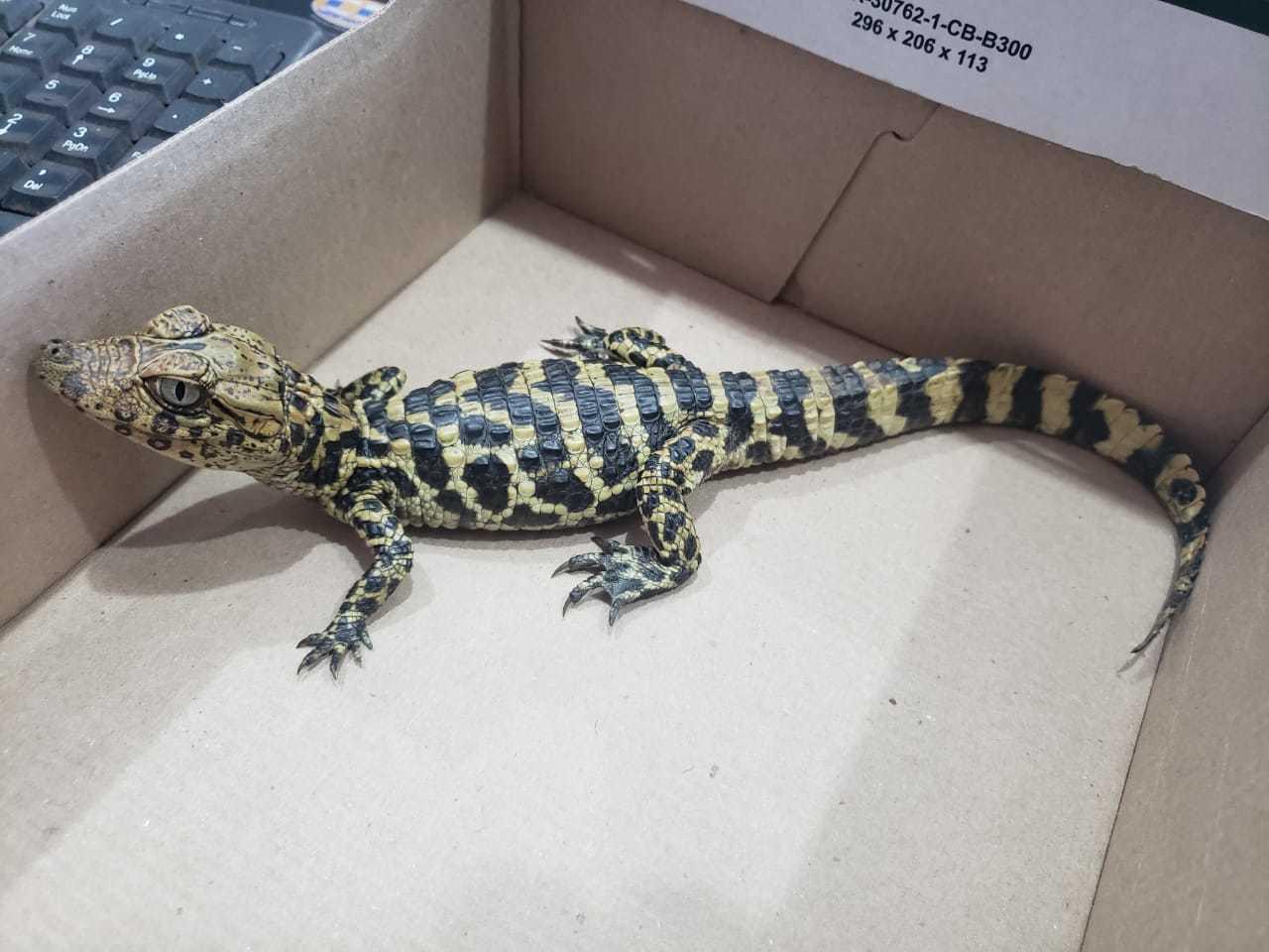 Filhote de jacaré, de cerca de 25 centímetros, que foi abandonado no pet shop (Foto/Arquivo pessoal)