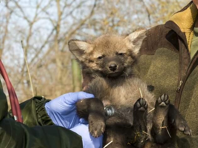 Filhote de lobo-guará (Foto/Divulgação)