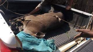 Anta foi restada com ferimentos nas patas e corpo (Foto: Divulgação/PMA)