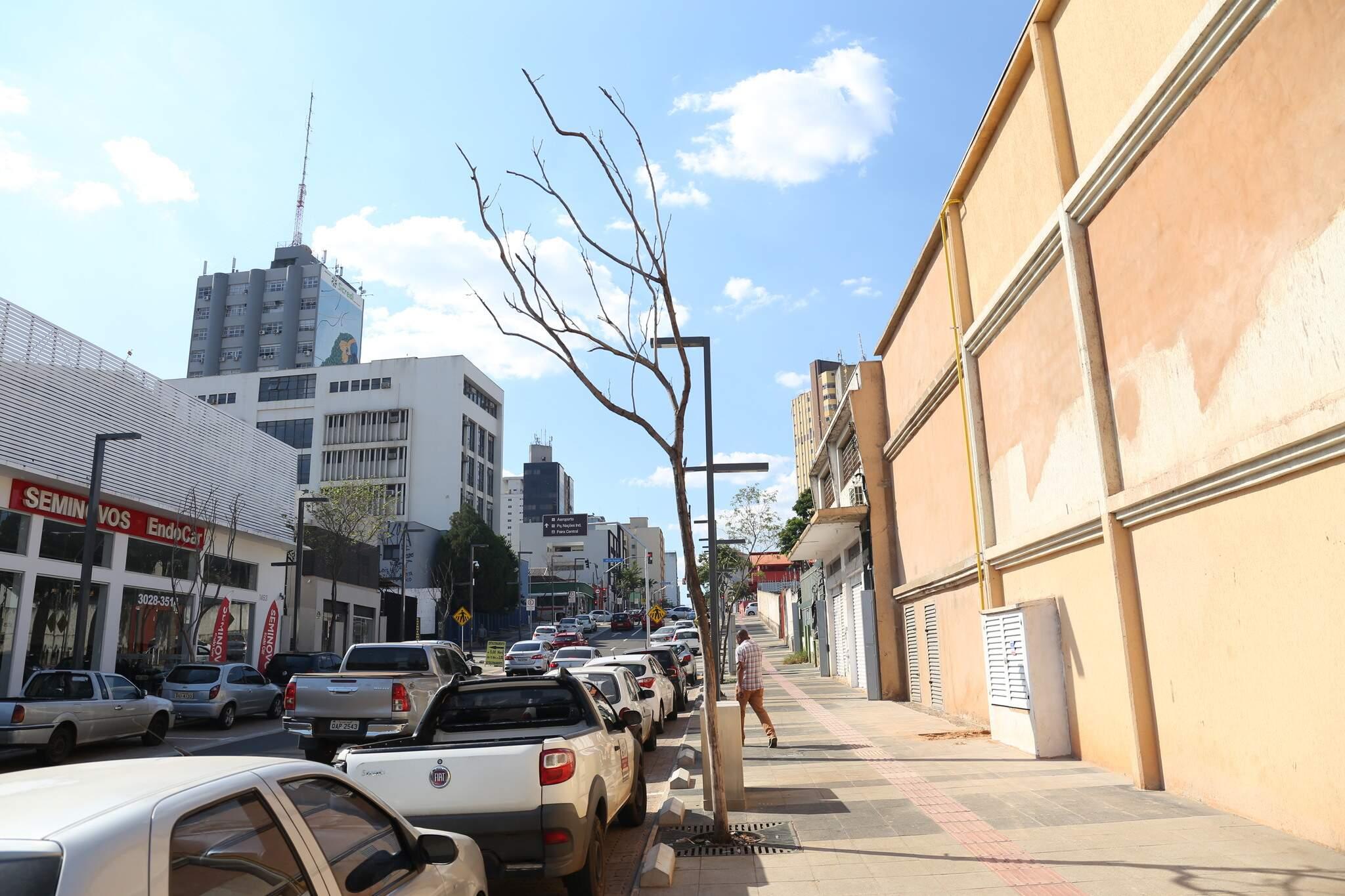 Árvores secaram em diversos trechos da Rua 14 de Julho (Foto: Paulo Francis)