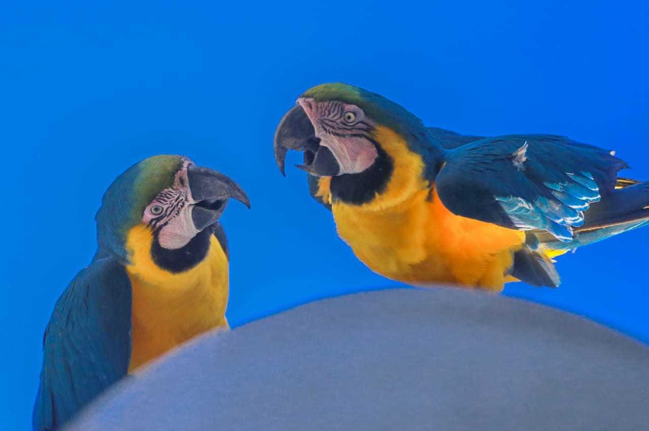 """Duas araras """"conversando"""" entre si (Foto: Marcos Maluf)"""