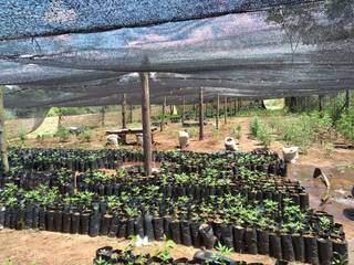 Estufa para produção de mudas de maconha em acampamento de traficantes (Foto: Senad)