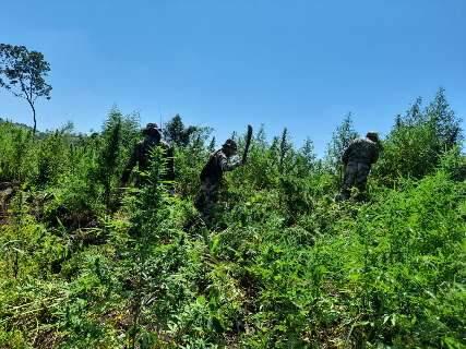 No 1º dia, operação destrói 63 hectares de maconha na fronteira