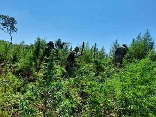 Agentes antidrogas paraguaios cortam plantas em roça de maconha (Foto: Senad)