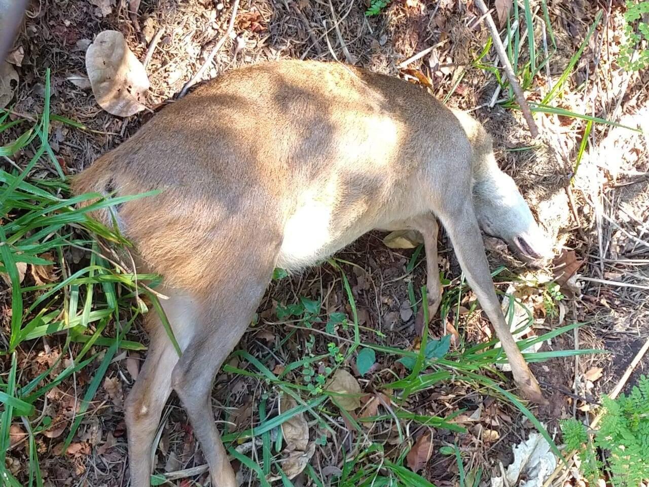 Cervo encontrado morto hoje (Foto: Direto das Ruas)