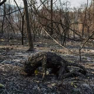 Macaco carbonizado no Pantanal é foto escolhida de prêmio global