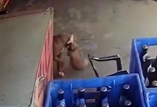 Momento em que o pitbull pega cachorro e arrasta para fora. (Foto: Reprodução)
