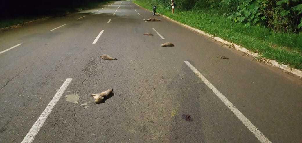 Filhotinhos de capivara mortos na avenida. (Foto: Direto das Ruas)