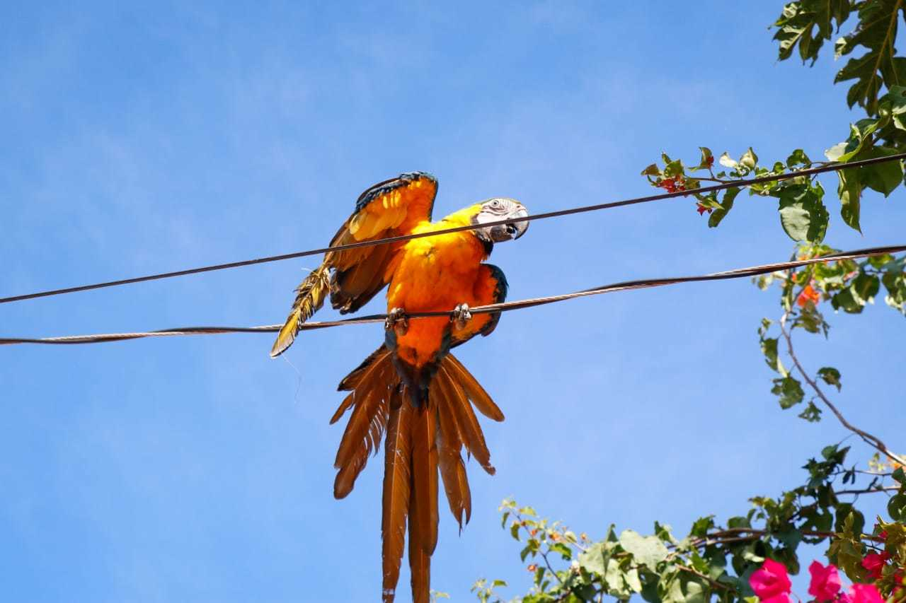 Depois arara voou para fiação elétrica. (Foto: Henrique Kawaminami)