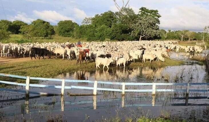 Gado bovino atravessa brejo no Pantanal sul-mato-grossense (Foto: Edemir Rodrigues/Governo estadual)