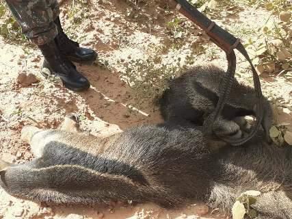 Filhote de tamanduá é encontrado agarrado ao corpo da mãe morta