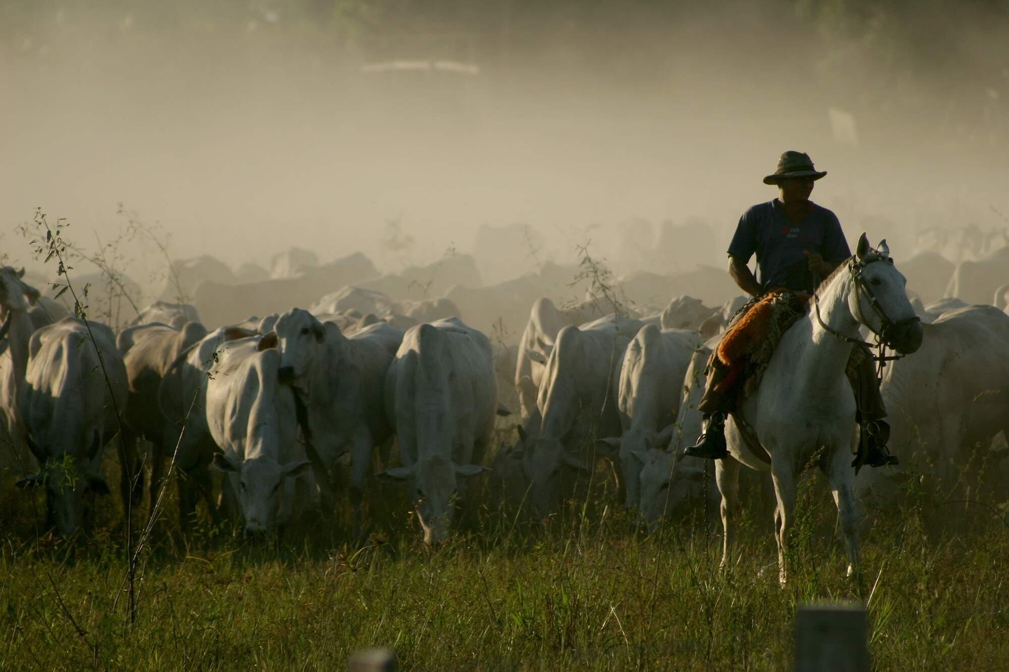 Boiada no Pantanal: estudos mostram que o gado contribui para reduzir os focos de incêndios. (Foto: Daniel Marinho)