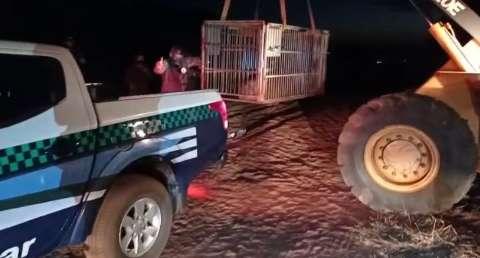 Anta de 250 quilos é resgatada com uso de trator após ser atropelada