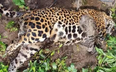 Onça é encontrada morta na Serra do Amolar e suspeita é de ação de caçadores