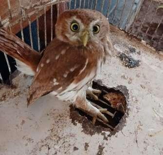 Aprendendo a voar, filhote de coruja é resgatado após se esconder em casa