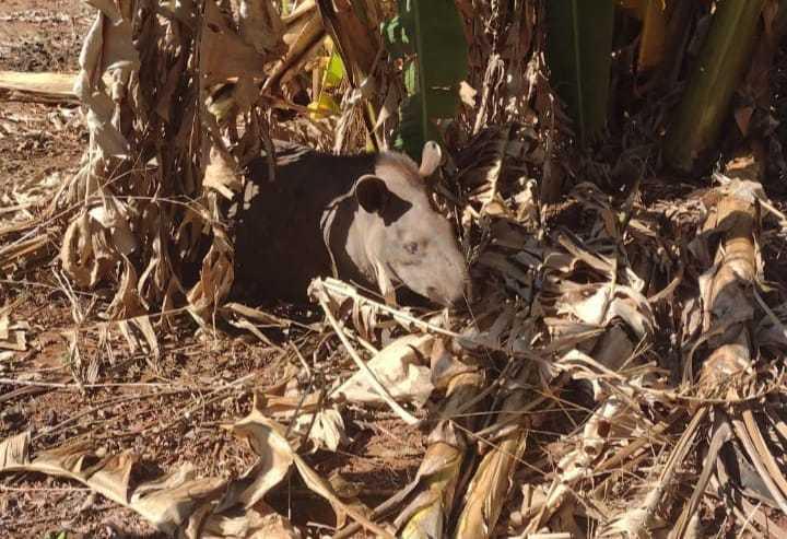 Animal chegou a ficar preso em meio a vegetal por não conseguir enxergar onde estava (Foto Divulgação)