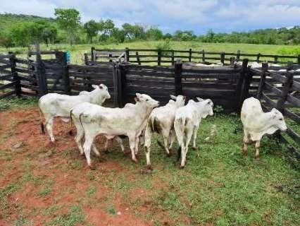 Com delegacia especial ativada, polícia faz operação contra furto de gado em MS