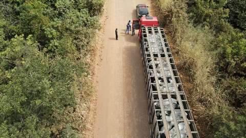 Ação contra abigeato começou após furto de 32 novilhas nelore