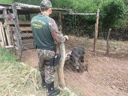 Proprietário rural é multado por criação ilegal de javali em chácara