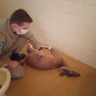 Cervo-do-pantanal é resgatado após ser atacado por cães de transportadora