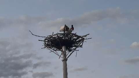 Ninho artificial de tuiuiús volta a exibir vida, com casal de aves