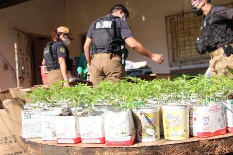 Polícia encontra droga ilegal em hortas de cultivo autorizado de maconha