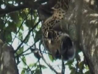 Imagem mostra onça em cima de uma árvore sob a mira de caçadores. (Foto: Reprodução)