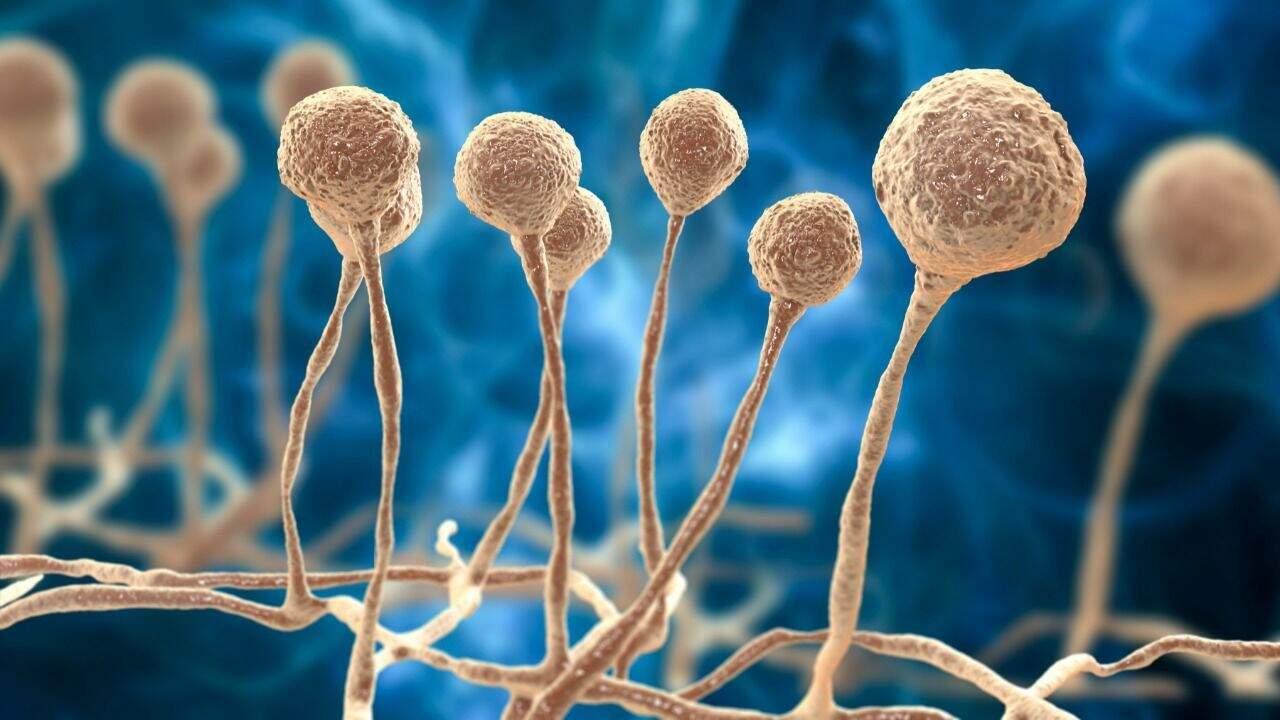 Fungo Mucor, causador da mucormicose, o novo temor associado a pacientes com covid-19 (Foto: Getty Images)