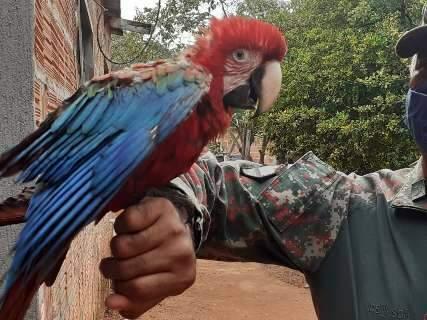 PMA resgata papagaio atropelado, maritaca com asa quebrada e arara domesticada