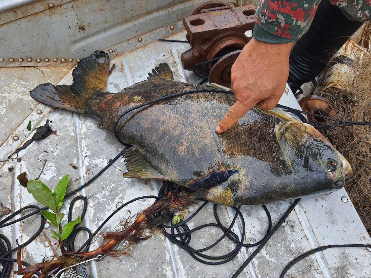 Um dos peixes aprrendidos fora da medida. (Foto: Divulgação)