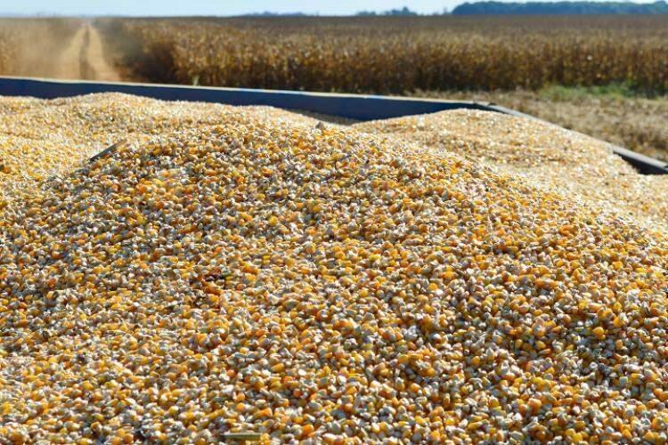 Cereal colhido em lavoura de Mato Grosso do Sul (Foto: João Carlos Castro/Famasul)