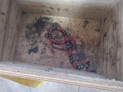 Serpente é resgatada pela PMA após aparecer em casa e dar susto em morador