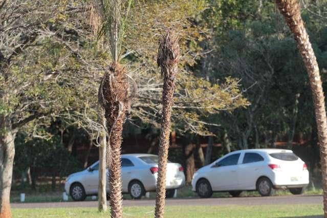 Administração insiste em palmeiras de outro bioma que seguem morrendo no parque