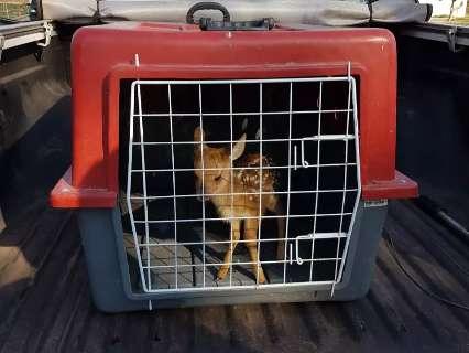Perdido da mãe, filhote de veado é resgatado em área de condomínio
