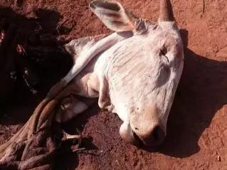 Ladrões abandonaram restos de animal em fazenda após abate em Três Lagoas. (Foto: Rádio Caçula)