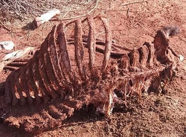 Fazendeiro encontrou carcaça de boi em sua propriedade pela 2ª vez em menos de 30 dias. (Foto: Rádio Caçula)