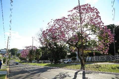 Florada dos ipês atrasa em 2021, mas a maioria nem se dá conta nas ruas