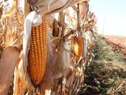 Expectativa de produção de milho no MS reduz em 9% por conta da falta de chuva