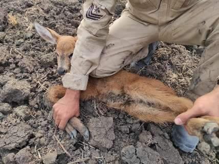 Resgate de filhote de cervo é prenúncio de trabalho das próximas queimadas
