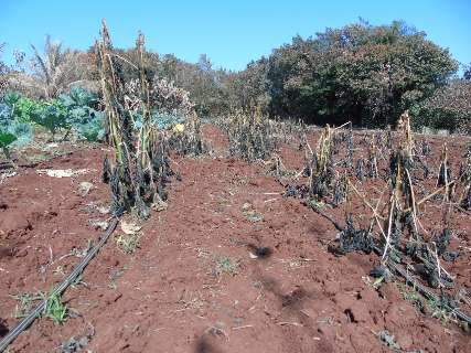 Pequenos produtores perdem tudo com geada e recebem auxílio municipal