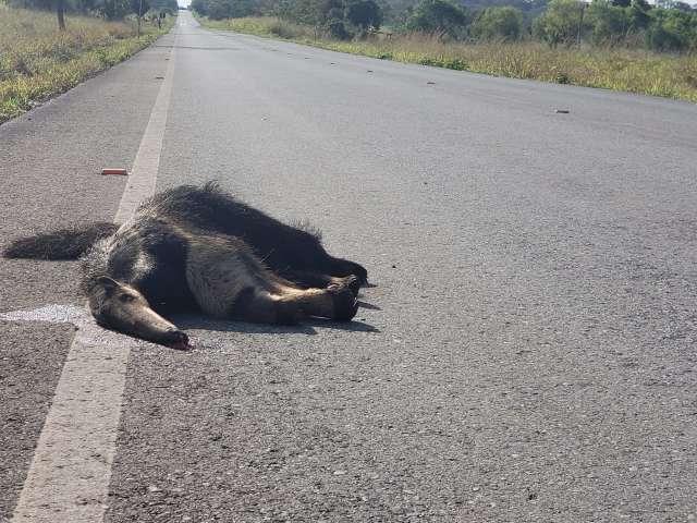 Com média de 50 mortes/mês, projeto quer frear atropelamento de animais