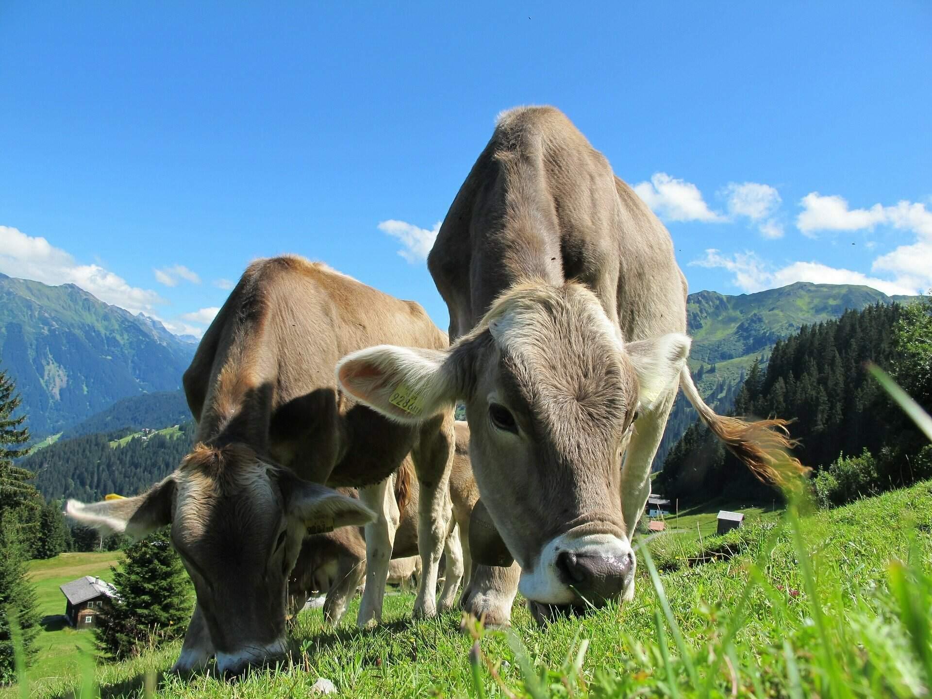 Detalhe de gado pastando. (Foto: Divulgação)