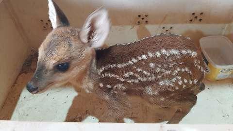 """Perdido, """"Bambi"""" é resgatado após aparecer em quintal de residência"""