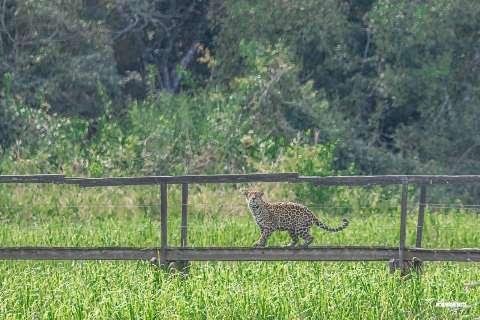 Turismo de observação de onça no Pantanal! Vai encarar?