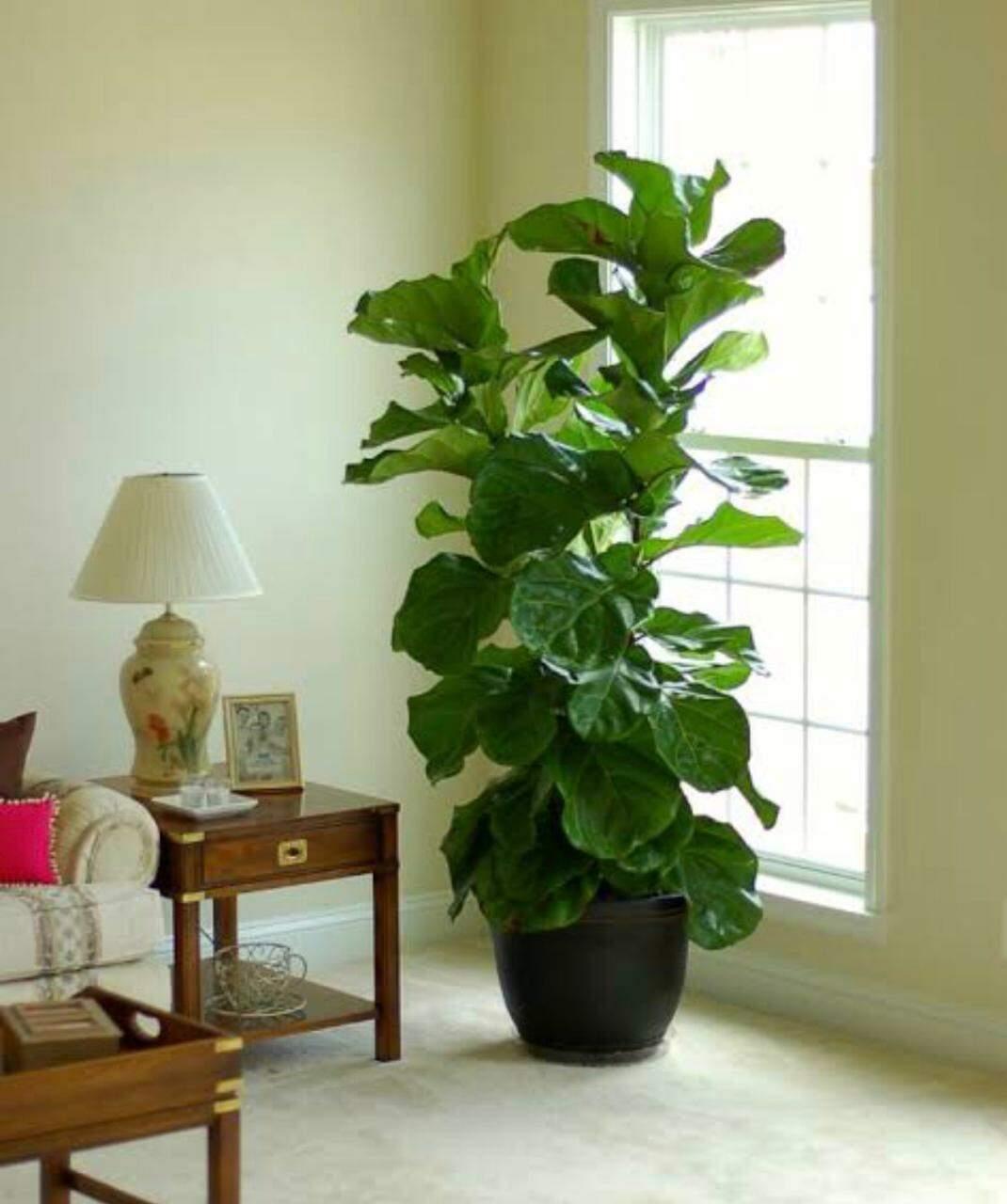 A ficus precisa ser cultivada em local com boa iluminação. (Foto: Reprodução/Internet)