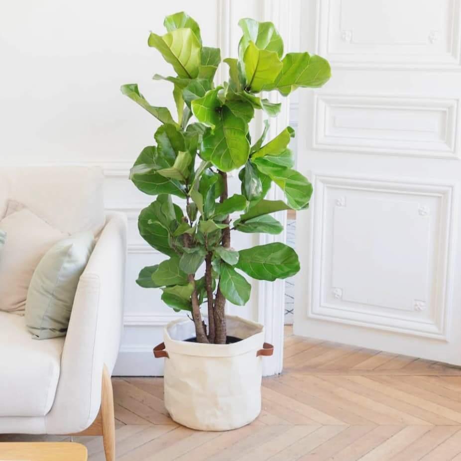 Ficus Lyrata de médio porte cultivada em um vaso dentro de casa. (Foto: Reprodução/Pinterest)
