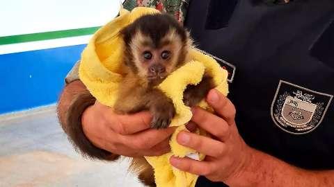 Motorista socorre filhote de macaco-prego atropelado em rodovia